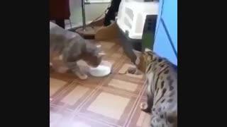 کاشکی آدما از این گربه ها یاد میگرفتن