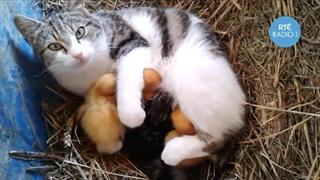 نگهداری از جوجه اردک توسط گربه ماده