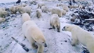 هجوم خرسهای قطبی به منطقهای در روسیه!