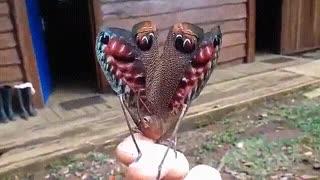 پروانه نایاب