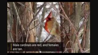کاردینال دو جنسه - آشنایی با نادر ترین گونه کاردینال
