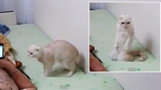 گربه ای که برای سرود ملی روسیه می ایستد