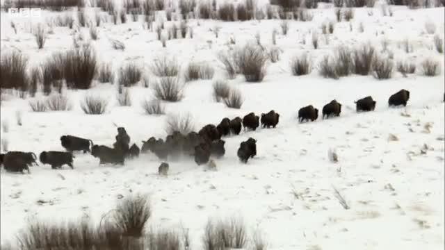 شکار بوفالو توسط گرگ