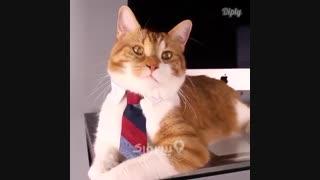 یک کروات برای گربه ها