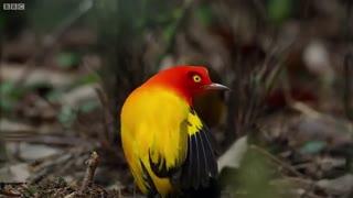 رقص جالب پرنده بوور نر برای جذب ماده
