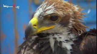مجموعه بی بی سی سیاره انسان ها ، استفاده انسان از عقاب برای شکار