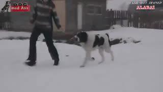 سگ آلابای - هاپ میو