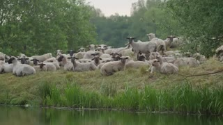 Sheep in Nature - Free Footage - 4K (PANASONIC GH4)