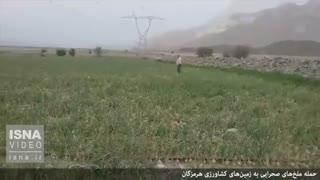 حمله ملخها به زمینهای کشاورزی هرمزگان