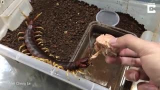 هزارپای عظیم به عنوان حیوان خانگی