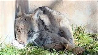 بازگشت گرگ زخمی به دامان طبیعت استان کرمانشاه