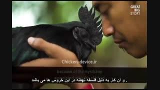 ویدیو خروس سیاه رنگ یا آیام سمانی - Ayam Cemani