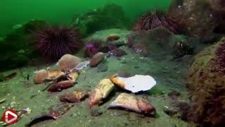 حیوانات شگفت انگیز . این قسمت : اختاپوس غول پیکر اقیانوس آرام