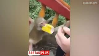 میمون سارق برای یافتن غذا جیب مردم را خالی میکند!