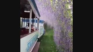 عبور با قطار از میان گلهای اقاقیای بنفش