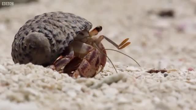 نحوه تعویض صدف خرچنگ های هرمیت