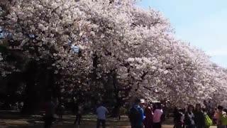 ONLY IN JAPAN   فصل شکوفههای گیلاس در ژاپن Cherry Blossom in Japan