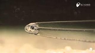 لپتوسفالوس یا همان ماهی نامرئی