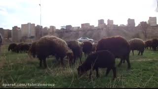 خرید گوسفند زنده در تهران - چرای گوسفنده زنده