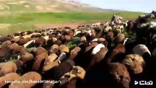 قیمت روز گوسفنده زنده 98 - قیمت گوسفنده زنده 97