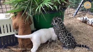 بازی کردن گربه سانان رنگارنگ کوچک با یکدیگر