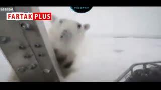 حمله خرس قطبی به مستندساز بیبیسی