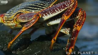تلاش اختاپوس و مارماهی برای شکار خرچنگ