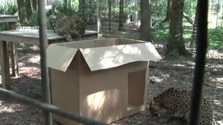 علاقه عجیب گربه سانان به جعبه
