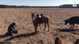 محافظت اسب از صاحبش در برابر گاو مادر