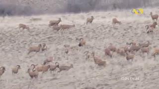 اسرار حیات وحش ایران  12 گوسفندان وحشی
