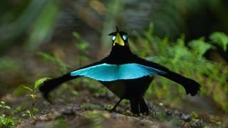 پرندگان بهشت
