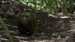 سنگین ترین و تنها طوطی بدون پرواز: کاکاپو
