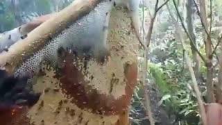 عسل جنگلی واقعی