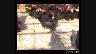 مزرعه پرورش مرغ مرند جوجه نیاکان در تبریز