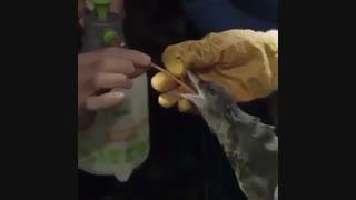 پلاستیکهایی که در معده پرندگان است