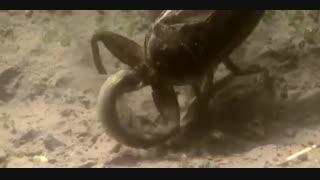 سوسک آبی مار وقورباغه میخورد
