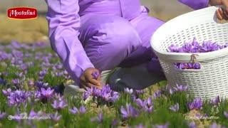 نمایی کلی از برداشت گل زعفران