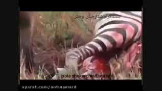 زنده خواری گورخر توسط کفتارها