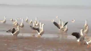 زیباترین فیلم پرواز غازهای وحشی