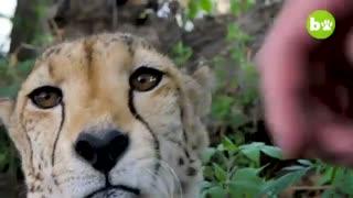 دوستی انسان با حیوانات وحشی!
