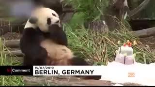 جشن تولد پاندای ۱۱۰ کیلویی در باغ وحش برلین