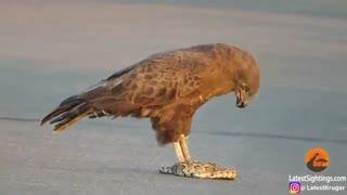 شکار مار توسط عقاب