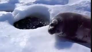 اولین شنای فوک نوزاد
