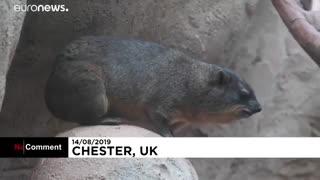 تولد سه قلوهای خرگوش کوهی-صخرهای در باغوحش چستر بریتانیا…