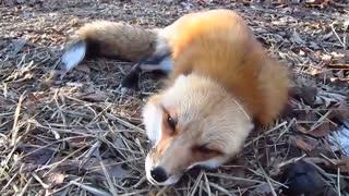 بچه روباه ها صبح ها چی  میگن