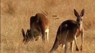 شکار کانگورو توسط کروکودیل