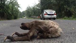 خرس تنبل