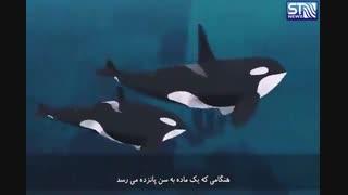 نهنگ های قاتل، ترسناک یا ترسو